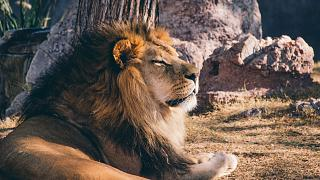 Südafrika: Kroatischer Mann bei Löwenjagd erschossen
