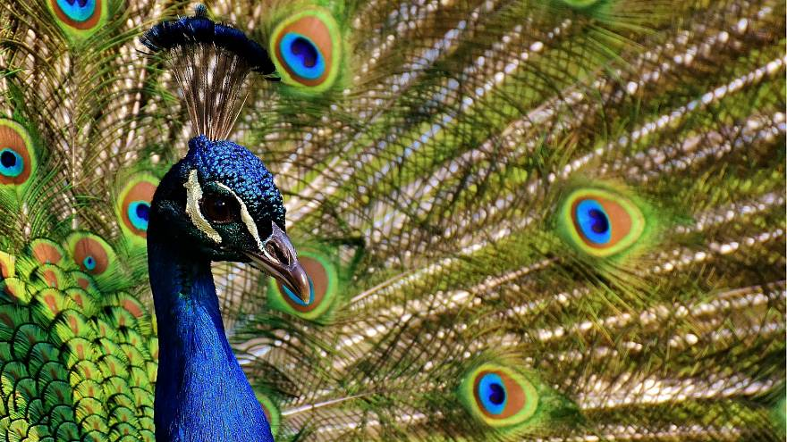 Emotional support peacock denied flight by United Airlines