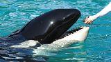 Η όρκα-φάλαινα Γουίκι που μιμείται την ανθρώπινη γλώσσα