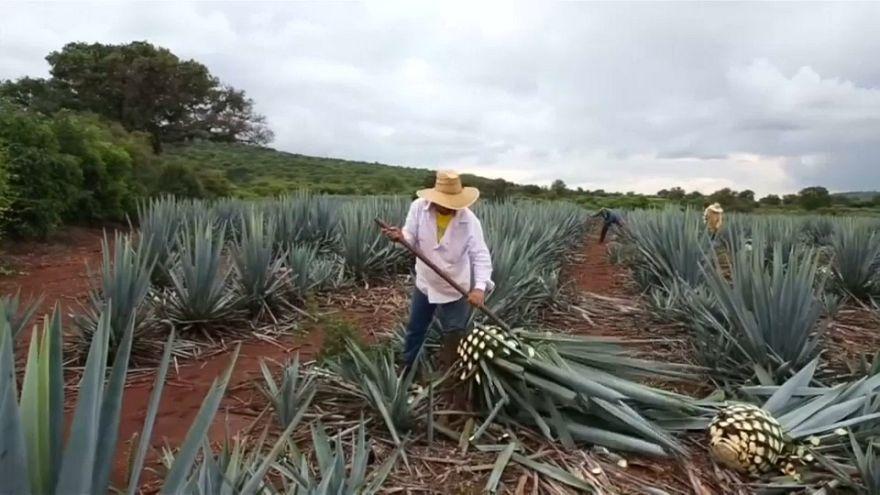 La planta del tequila sextuplica su precio en dos años