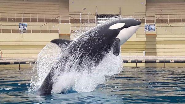 Vergessen Sie Papageien, jetzt plappern Orcas