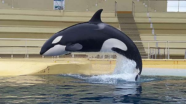Orca learns to say 'hello' and 'bye bye'