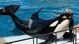 «ویکی» نهنگ قاتلی که قادر است سخنان انسان را تقلید کند