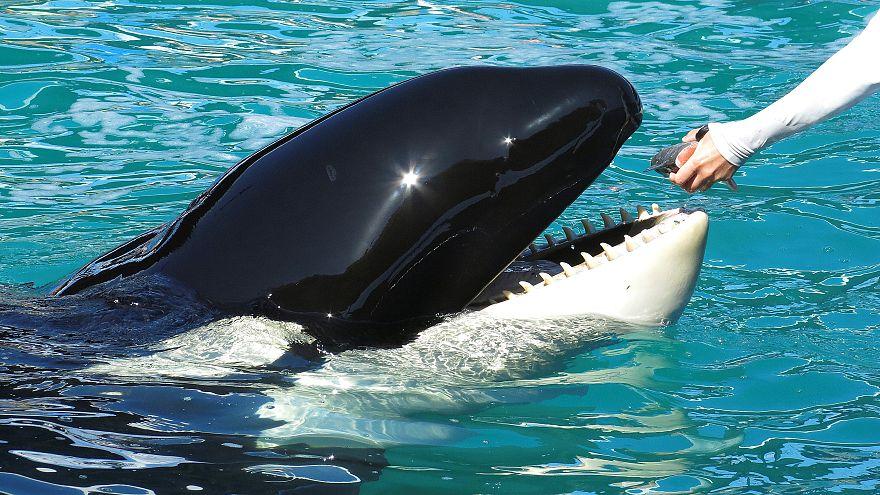 """الحوت """"ويكي"""" يقلد صوت البشر ويردد كلمات الترحيب والوداع"""
