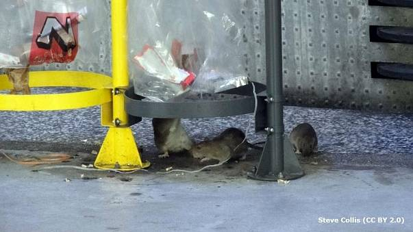 Security measures helping rat population explosion, warns expert