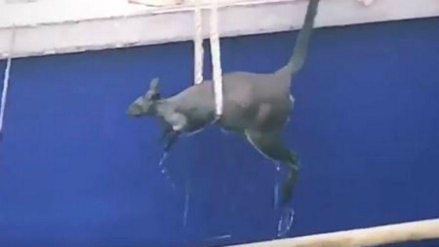إنقاذ كنغر حاول السباحة في مياه ميناء سيدني