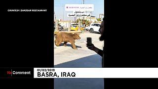 Un oso se pasea por Basora