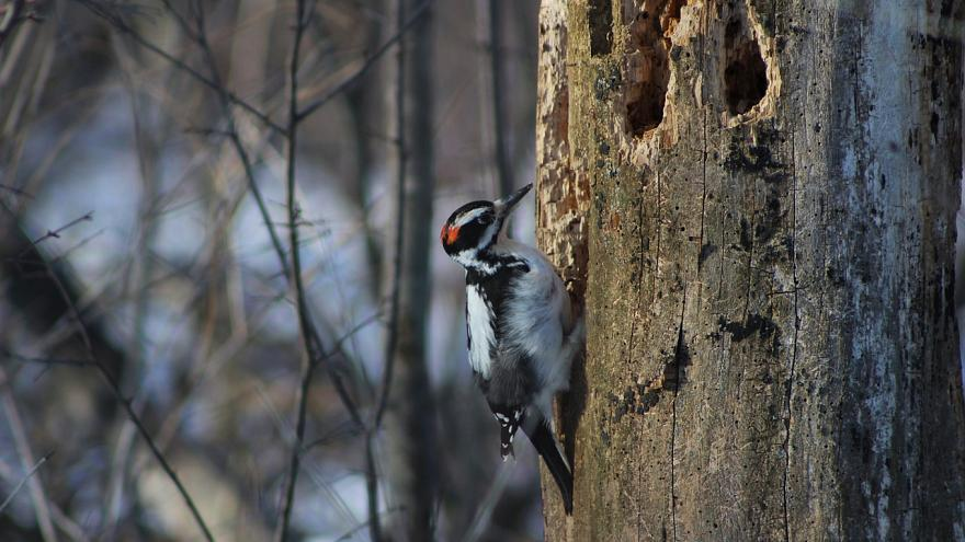 Woodpeckers show signs of brain damage