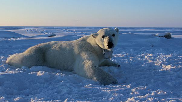Bear's eye view: cameras give unique perspective on under-threat polar mammals