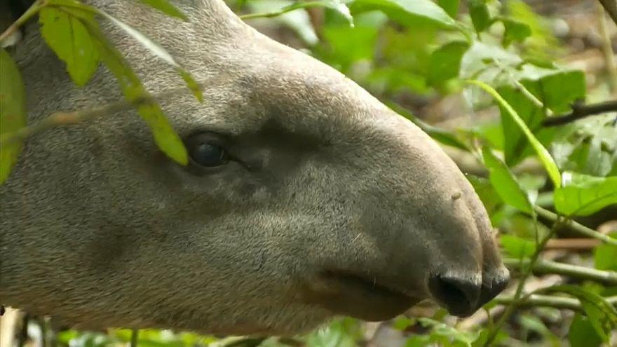 Tapire wieder in Freiheit