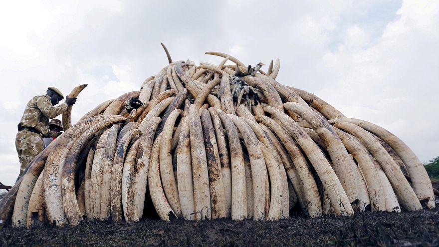 Rusya gümrük yetkilileri 4.5 ton mamut dişi ele geçirdi