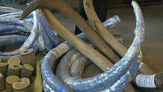 Confiscan en Rusia el mayor alijo de colmillos de mamut