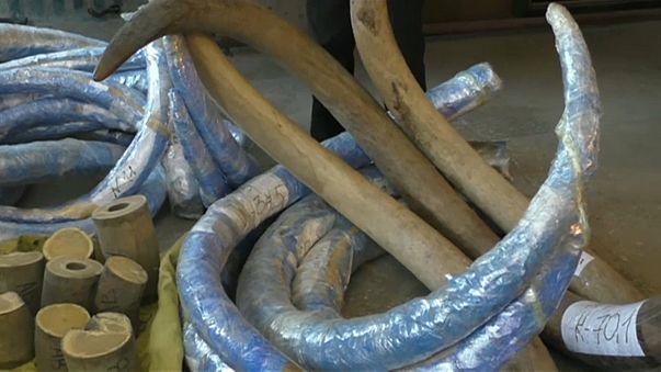 Autoridades russas apreendem presas de mamute