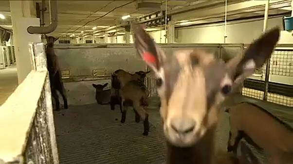 Francia sajtot állítanak elő Szibériában