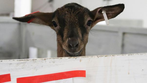 Russian businessmen use French goats to beat sanctions