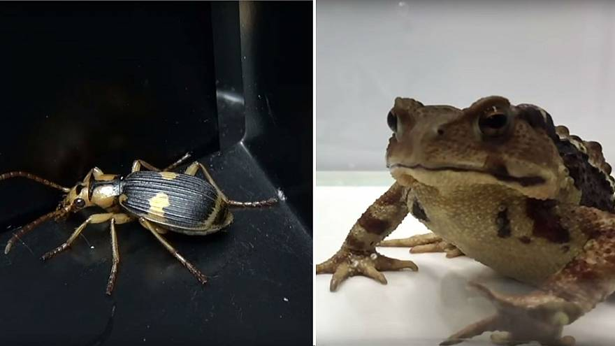 The Great Escape: Exploding beetle battles hungry toad in research experiment