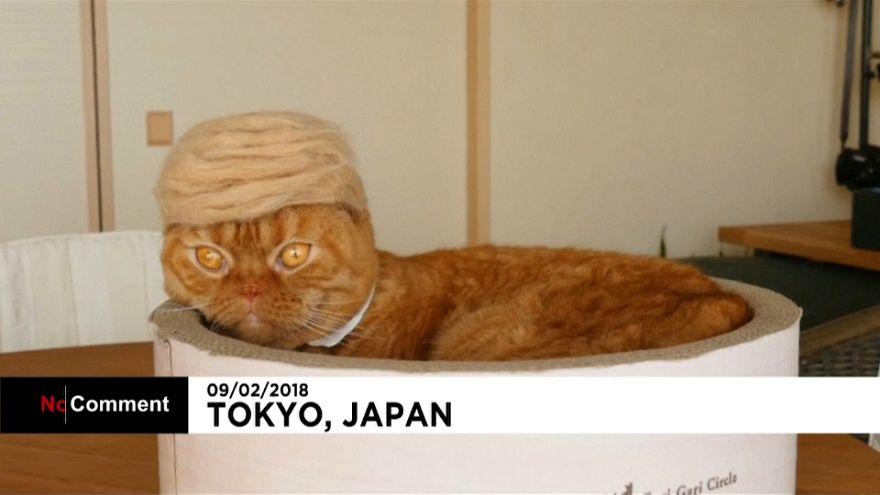 Japon : des perruques pour les chats