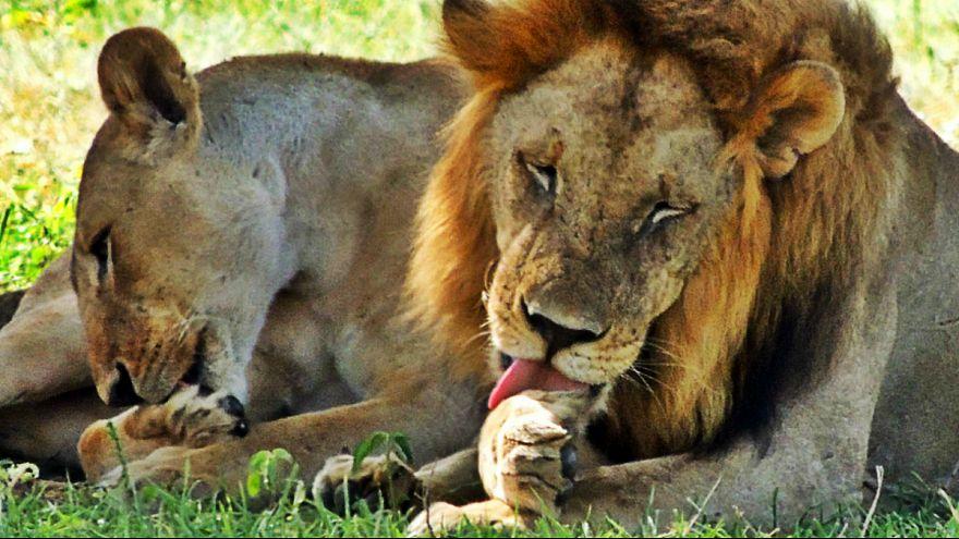 شیرها شکارچی را خوردند