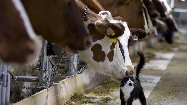 Hermien, la vache super star échappe à l'abattoir
