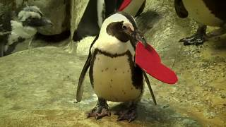 A Valentine's love story: penguins leave their hearts in San Francisco