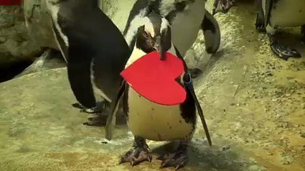Valentin-napi pingvin l'amour