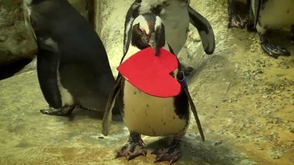 Anche i pinguini festeggiano San Valentino...
