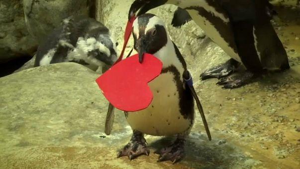 Amor pingüino