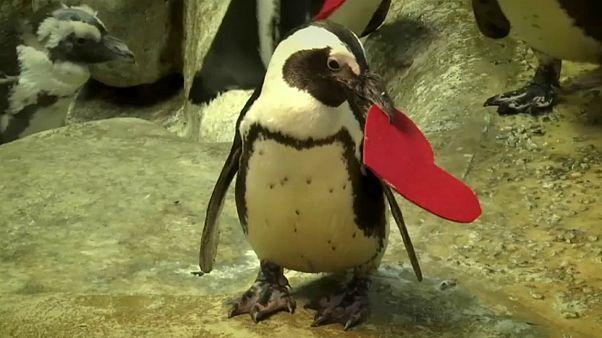 Pinguins celebram dia dos namorados