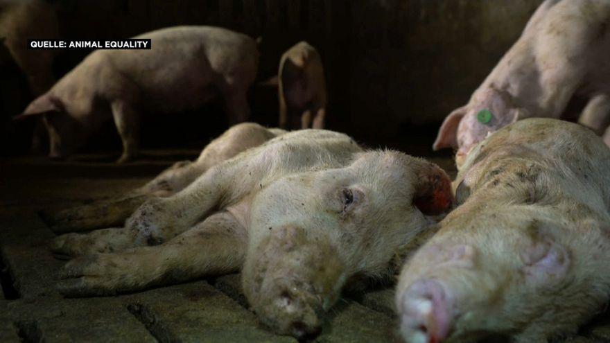 Schweine bei Murcia