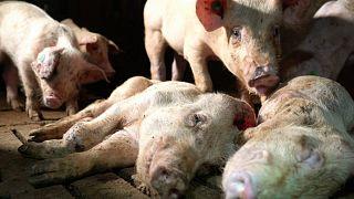 """¿Por qué El Pozo ha roto con la 'granja de los horrores' si """"cumplía las garantías sanitarias""""?"""