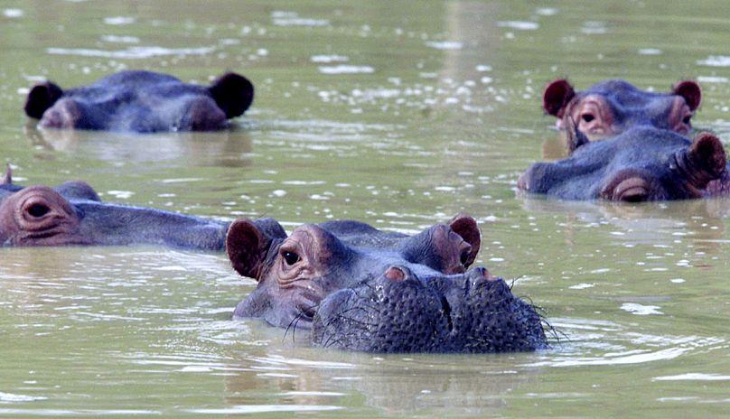 Un grupo de hipopótamos nadan en Puerto Triunfo, Colombia.