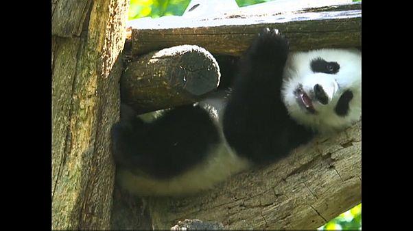 Panda-Zwillinge genießen das milde Wetter