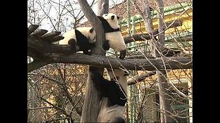 """Оскар"" в мире панд"