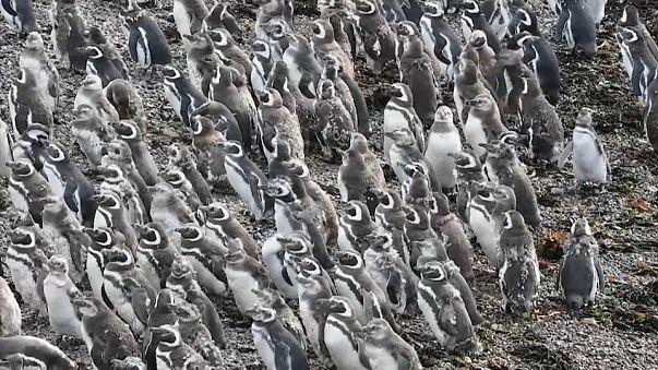Les manchots de Magellan parés pour leur migration