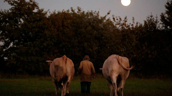 French farmer walks with oxen