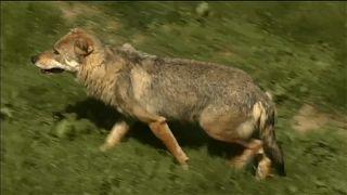 Streit um Frankreichs Wölfe