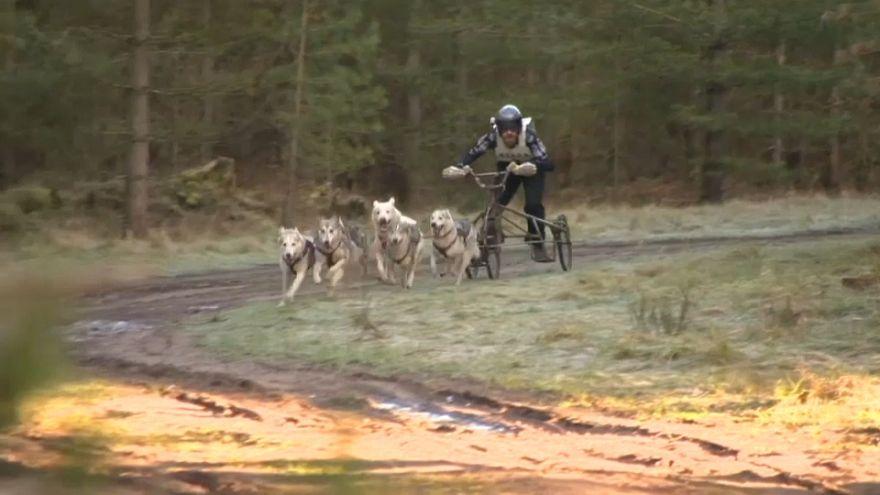 Da rennen die Huskys...