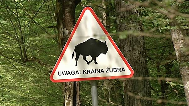 la foresta di Bialowieza, in Polonia