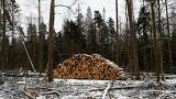 Avrupa Adalet Divanı Polonya'yı ağaç kesimi konusunda uyardı