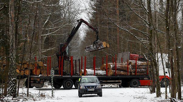 La Pologne a abattu illégalement les arbres de Bialowieza