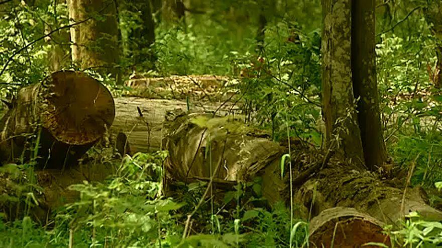 Jogellenes a lengyel erdőirtás