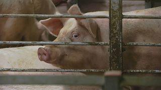 Peking investiert in riesige Schweinefarmen