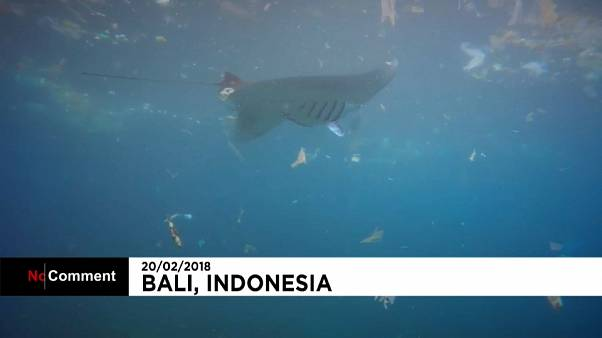 Imagens captam raia a comer plástico no mar da Indonésia