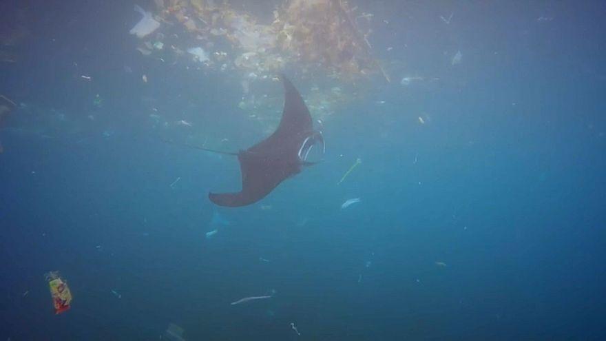 Mantarochen im Plastikmeer