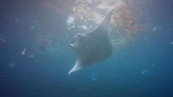 ¿Se comen los peces raya la basura de los océanos?