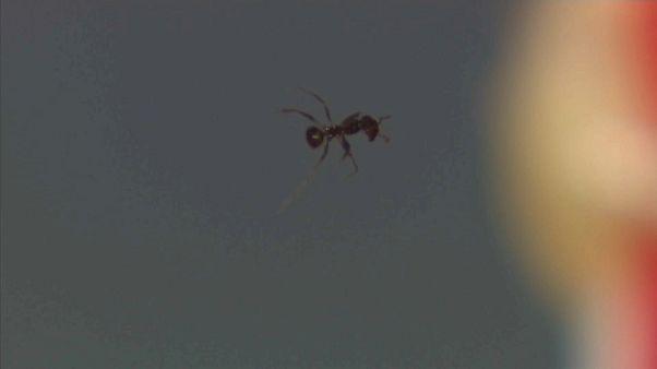 El rayo tractor acústico muestra que el sonido puede levantar hormigas