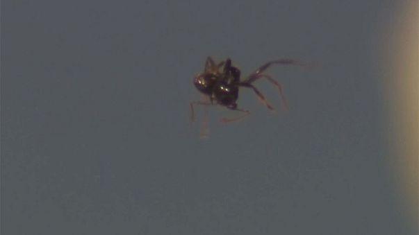 Des ultra-sons capables de faire léviter des fourmis