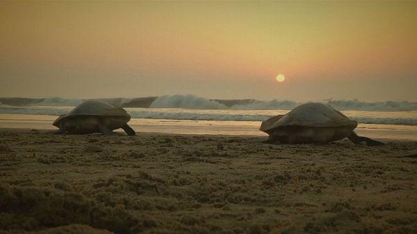 شاهد.. موسم وضع البيض للسلاحف البحرية المهددة بالانقراض على شاطئ هندي