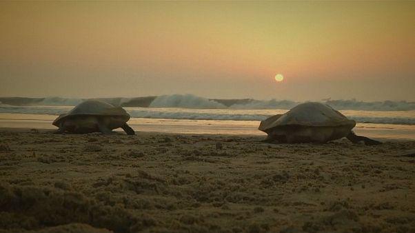 Meeresschildkröten am Strand von Ganjam