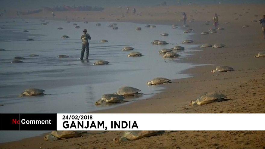 Черепахи могут погибнуть из-за глобального потепления